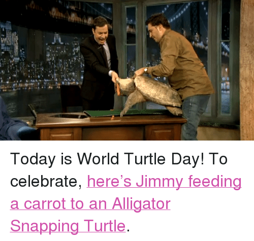 """Alligator Snapping Turtle: <p>Today is World Turtle Day! To celebrate, <a href=""""http://www2.latenightwithjimmyfallon.com/video/jeff-musials-turtle/n14797/"""" target=""""_blank"""">here&rsquo;s Jimmy feeding a carrot to an Alligator Snapping Turtle</a>.</p>"""
