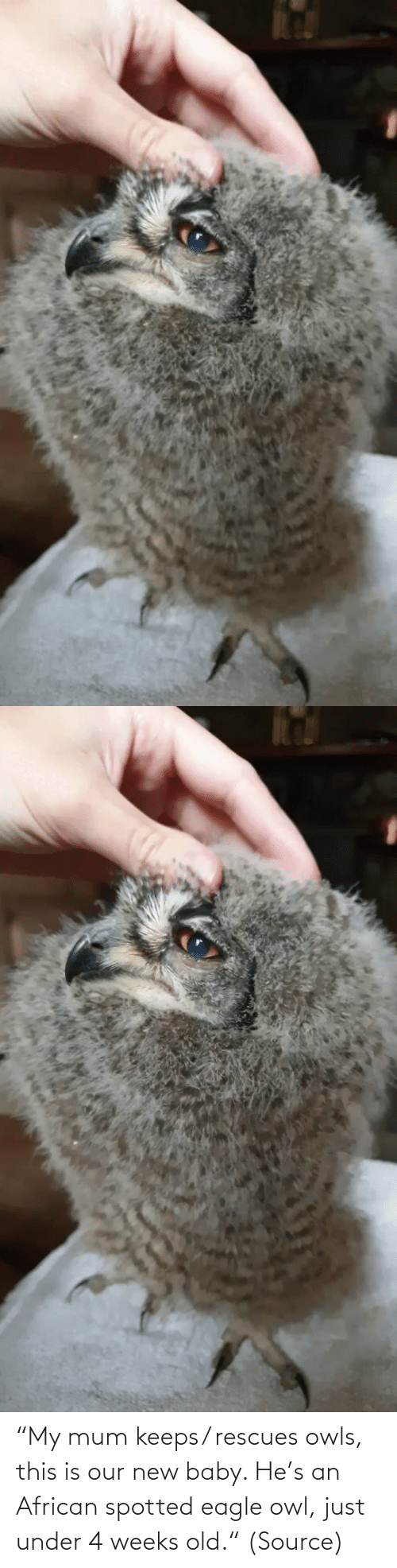 "Our: ""My mum keeps/ rescues owls, this is our new baby. He's an African spotted eagle owl, just under 4 weeks old."" (Source)"