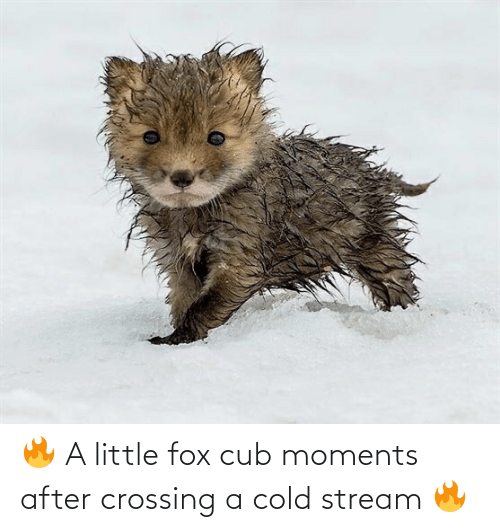 Cold: 🔥 A little fox cub moments after crossing a cold stream 🔥