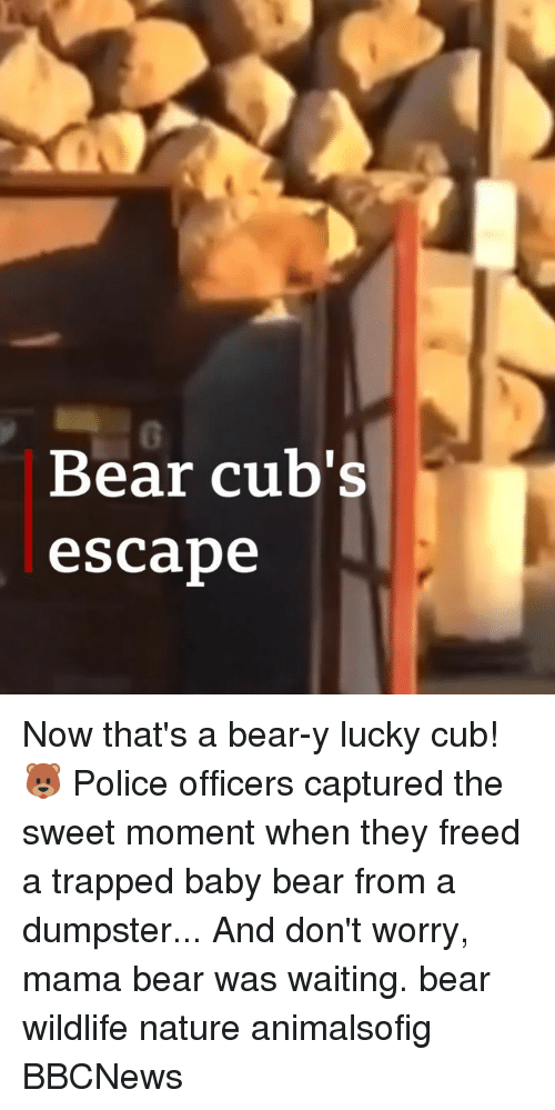 the sweet: 0  Bear cub's  escabe Now that's a bear-y lucky cub! 🐻 Police officers captured the sweet moment when they freed a trapped baby bear from a dumpster... And don't worry, mama bear was waiting. bear wildlife nature animalsofig BBCNews