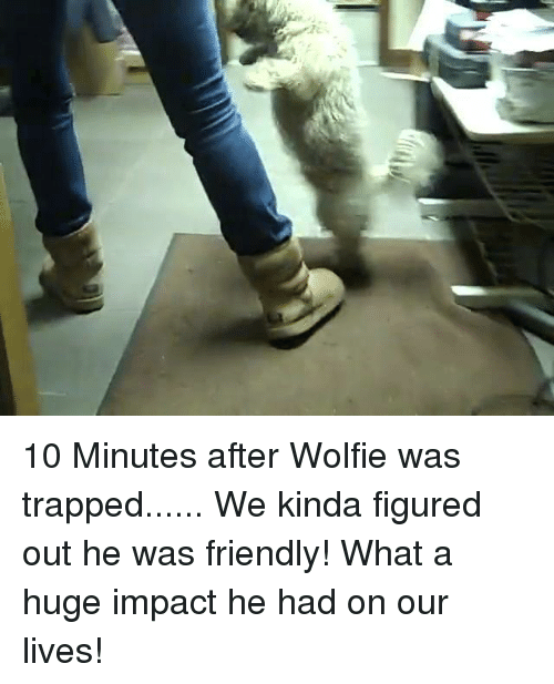 wolfies: 10 Minutes after Wolfie was trapped...... We kinda figured out he was friendly!  What a huge impact he had on our lives!