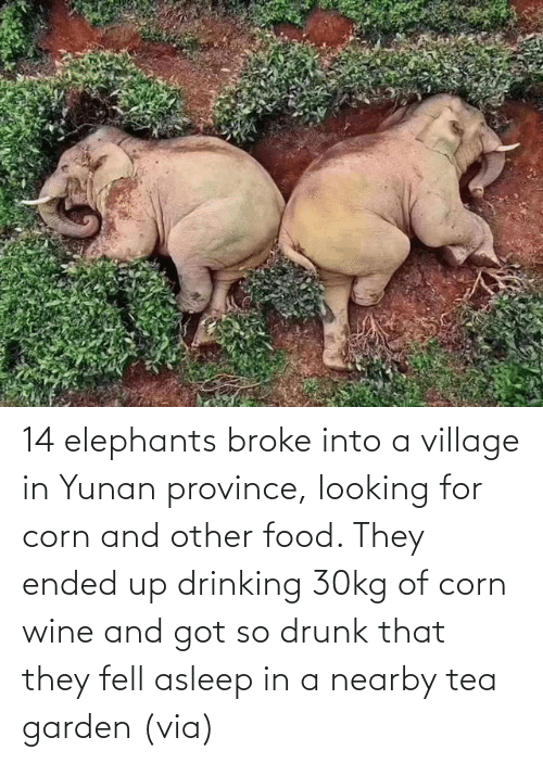 Drinking: 14 elephants broke into a village in Yunan province, looking for corn and other food. They ended up drinking 30kg of corn wine and got so drunk that they fell asleep in a nearby tea garden (via)