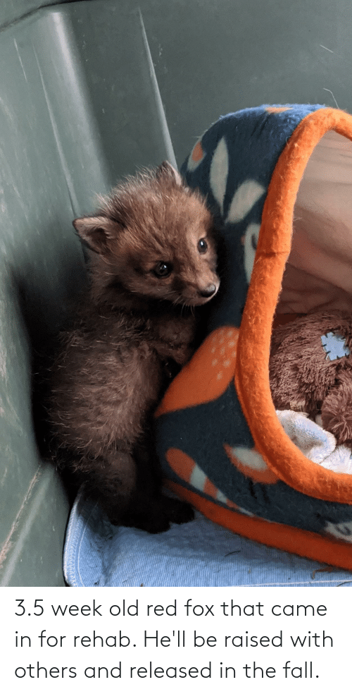 3 5: 3.5 week old red fox that came in for rehab. He'll be raised with others and released in the fall.