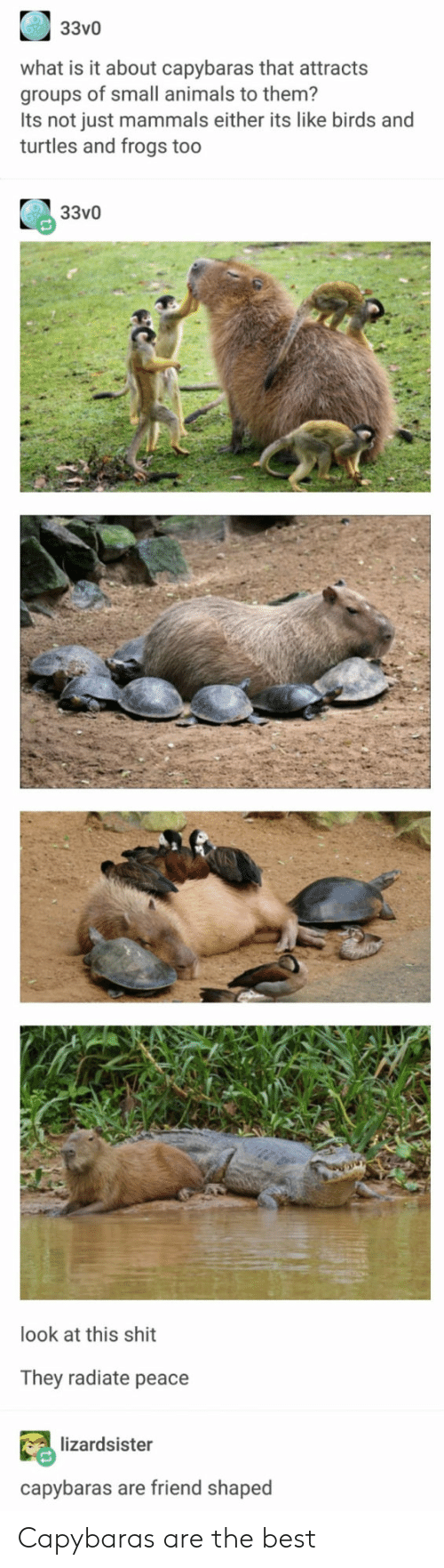 mammals: 33v0  what is it about capybaras that attracts  groups of small animals to them?  Its not just mammals either its like birds and  turtles and frogs too  33v0  look at this shit  They radiate peace  lizardsister  capybaras are friend shaped Capybaras are the best