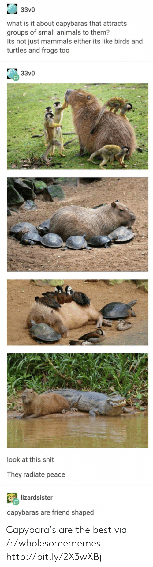 mammals: 33v0  what is it about capybaras that attracts  groups of small animals to them?  Its not just mammals either its like birds and  turtles and frogs too  33v0  look at this shit  They radiate peace  lizardsister  capybaras are friend shaped Capybara's are the best via /r/wholesomememes http://bit.ly/2X3wXBj