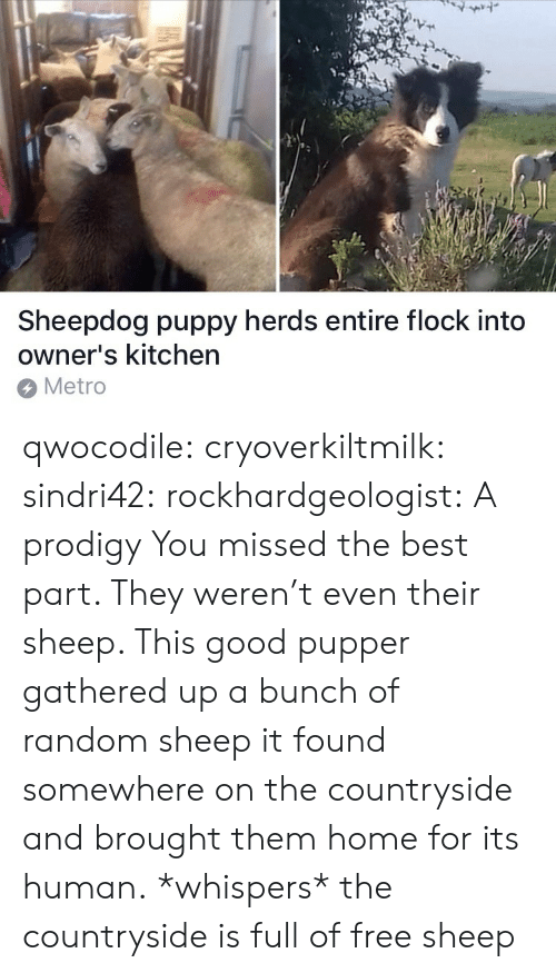 Target, Tumblr, and Best: 7  Sheepdog puppy herds entire flock into  owner's kitchen  Metro qwocodile:  cryoverkiltmilk:  sindri42:  rockhardgeologist: A prodigy You missed the best part. They weren't even their sheep. This good pupper gathered up a bunch of random sheep it found somewhere on the countryside and brought them home for its human.  *whispers* the countryside is full of free sheep