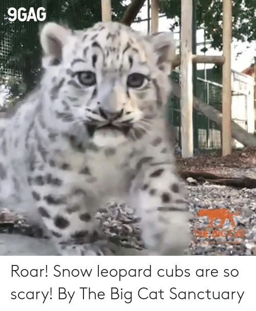 9gag, Dank, and Cubs: 9GAG  rshe Roar! Snow leopard cubs are so scary!  By The Big Cat Sanctuary