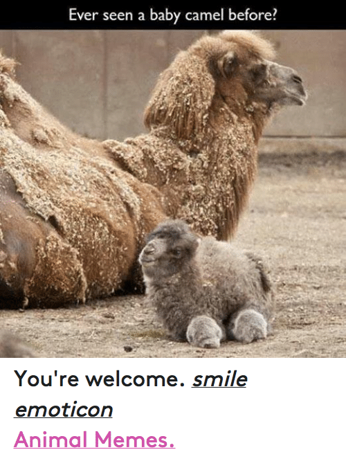 Animals, Anime, and Baby, It's Cold Outside: Ever seen a baby camel before You're welcome. smile emoticon  Animal Memes.