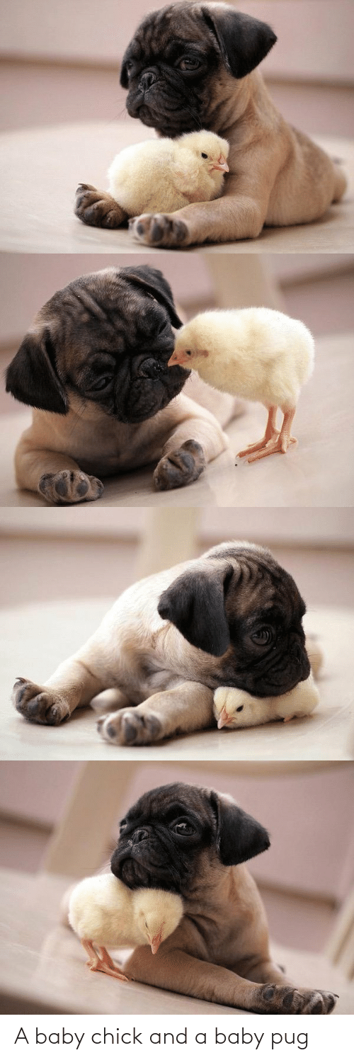 Baby: A baby chick and a baby pug