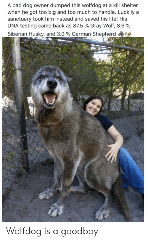 Bad, Life, and Too Much: A bad dog owner dumped this wolfdog at a kill shelter  when he got too big and too much to handle. Luckily a  sanctuary took him instead and saved his life! His  DNA testing came back as 875 % Gray Wolf, 8.6 %  Siberian Husky, and 3.9 % German Shepherd 44 Wolfdog is a goodboy