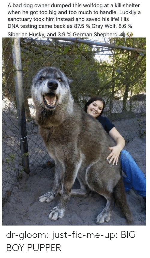 Bad, Life, and Too Much: A bad dog owner dumped this wolfdog at a kill shelter  when he got too big and too much to handle. Luckily a  sanctuary took him instead and saved his life! His  DNA testing came back as 87.5 % Gray Wolf, 8.6 %  Siberian Husky, and 3.9 % German Shepherd dr-gloom:  just-fic-me-up: BIG BOY PUPPER