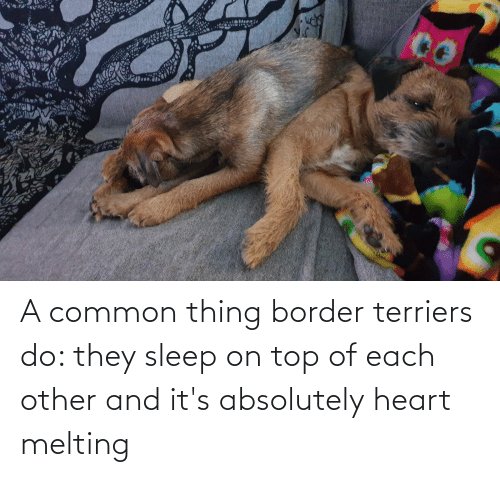melting: A common thing border terriers do: they sleep on top of each other and it's absolutely heart melting