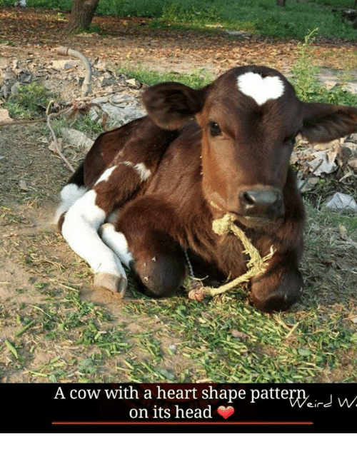 heart shape: A cow with a heart shape patte  on its head
