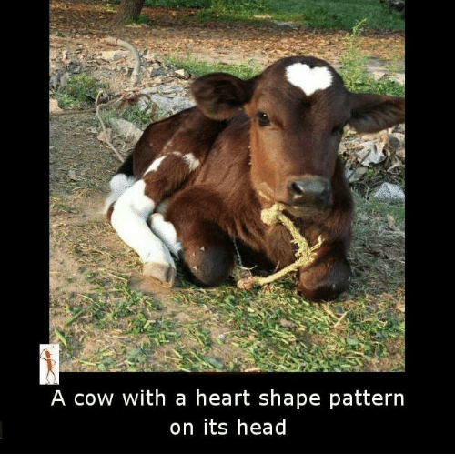 heart shape: A cow with a heart shape pattern  on its head