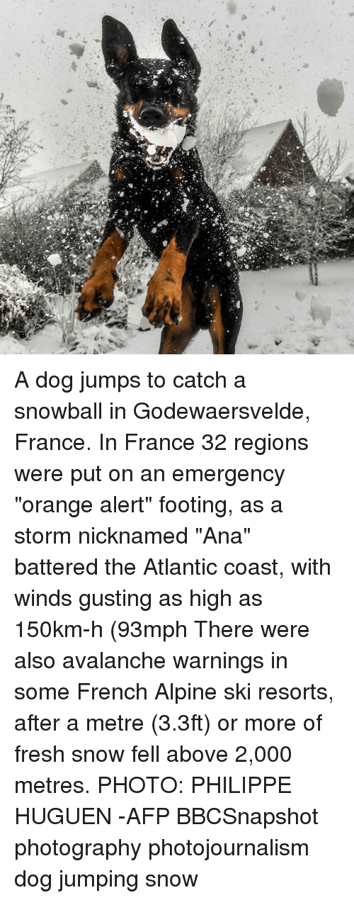 "Fresh, Memes, and France: A dog jumps to catch a snowball in Godewaersvelde, France. In France 32 regions were put on an emergency ""orange alert"" footing, as a storm nicknamed ""Ana"" battered the Atlantic coast, with winds gusting as high as 150km-h (93mph There were also avalanche warnings in some French Alpine ski resorts, after a metre (3.3ft) or more of fresh snow fell above 2,000 metres. PHOTO: PHILIPPE HUGUEN -AFP BBCSnapshot photography photojournalism dog jumping snow"