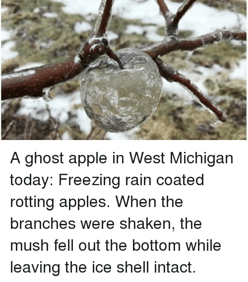 Apple, Ghost, and Michigan: A ghost apple in West Michigan today: Freezing rain coated rotting apples. When the branches were shaken, the mush fell out the bottom while leaving the ice shell intact.