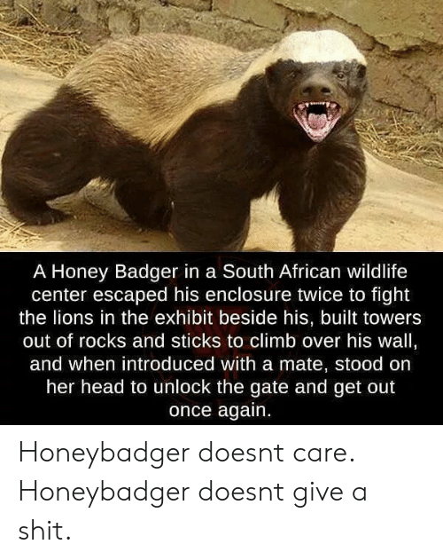 Head, Shit, and Honey Badger: A Honey Badger in a South African wildlife  center escaped his enclosure twice to fight  the lions in the exhibit beside his, built towers  out of rocks and sticks to climb over his wall,  and when introduced with a mate, stood on  her head to unlock the gate and get out  once again. Honeybadger doesnt care. Honeybadger doesnt give a shit.