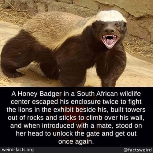 Facts, Head, and Memes: A Honey Badger in a South African wildlife  center escaped his enclosure twice to fight  the lions in the exhibit beside his, built towers  out of rocks and sticks to climb over his wall,  and when introduced with a mate, stood on  her head to unlock the gate and get out  once again.  weird-facts.org  @factsweird