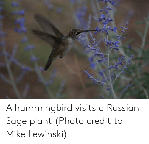 plant: A hummingbird visits a Russian Sage plant (Photo credit to Mike Lewinski)