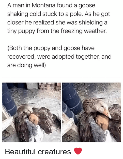 Beautiful, Montana, and Puppy: A man in Montana found a goose  shaking cold stuck to a pole. As he got  closer he realized she was shielding a  tiny puppy from the freezing weather.  (Both the puppy and goose have  recovered, were adopted together, and  are doing well) Beautiful creatures ❤️