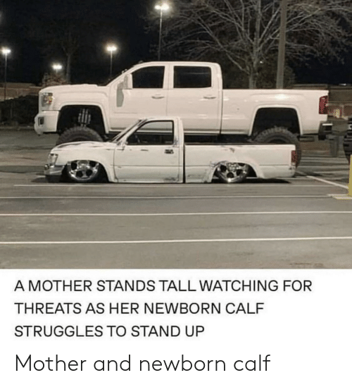 Her, Mother, and For: A MOTHER STANDS TALL WATCHING FOR  THREATS AS HER NEWBORN CALF  STRUGGLES TO STAND UP Mother and newborn calf