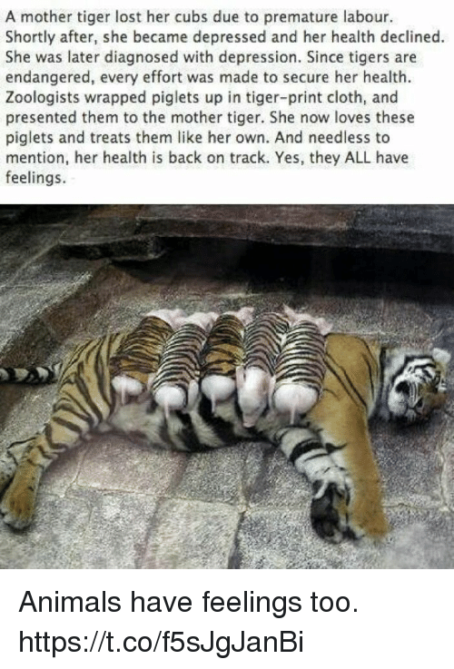 Mentiones: A mother tiger lost her cubs due to premature labour.  Shortly after, she became depressed and her health declined.  She was later diagnosed with depression. Since tigers are  endangered, every effort was made to secure her health.  Zoologists wrapped piglets up in tiger-print cloth, and  presented them to the mother tiger. She now loves these  piglets and treats them like her own. And needless to  mention, her health is back on track. Yes, they ALL have  feelings. Animals have feelings too. https://t.co/f5sJgJanBi
