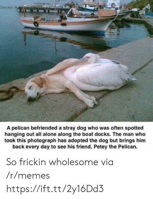 Being Alone, Memes, and Wholesome: A pelican befriended a stray dog who was often spotted  hanging out all alone along the boat docks. The man who  took this photograph has adopted the dog but brings him  back every day to see his friend, Petey the Pelican. So frickin wholesome via /r/memes https://ift.tt/2y16Dd3