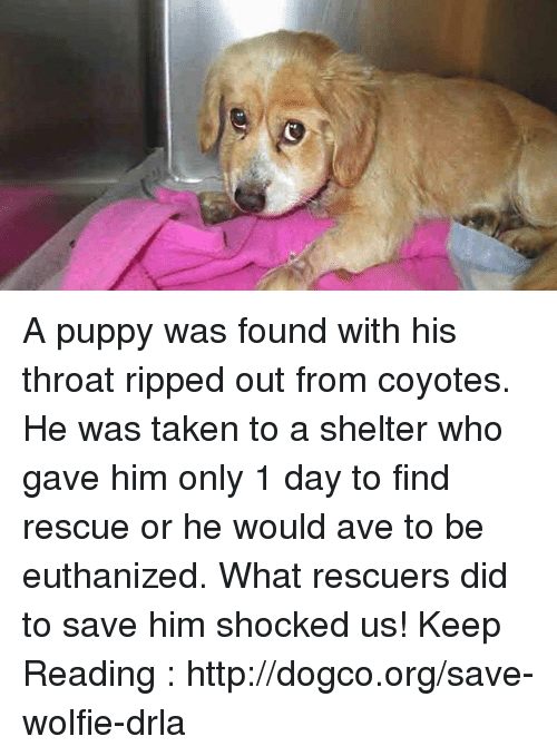 wolfies: A puppy was found with his throat ripped out from coyotes. He was taken to a shelter who gave him only 1 day to find rescue or he would ave to be euthanized. What rescuers did to save him shocked us! Keep Reading : http://dogco.org/save-wolfie-drla