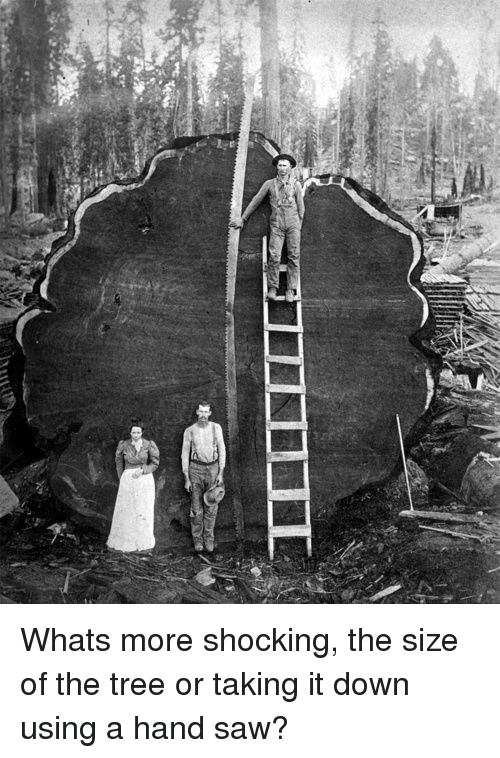 hand saw: a Whats more shocking, the size of the tree or taking it down using a hand saw?