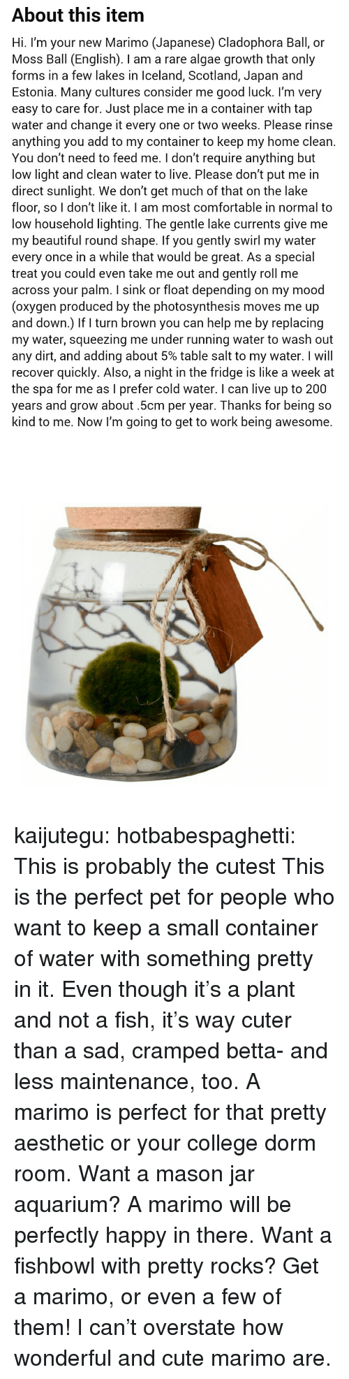 estonia: About this item  Hi. I'm your new Marimo (Japanese) Cladophora Ball, or  Moss Ball (English). I am a rare algae growth that only  forms in a few lakes in Iceland, Scotland, Japan and  Estonia. Many cultures consider me good luck. l'm very  easy to care for. Just place me in a container with tap  water and change it every one or two weeks. Please rinse  anything you add to my container to keep my home clean.  You don't need to feed me. I don't require anything but  low light and clean water to live. Please don't put me in  direct sunlight. We don't get much of that on the lake  floor, so I don't like it. I am most comfortable in normal to  low household lighting. The gentle lake currents give me  my beautiful round shape. If you gently swirl my water  every once in a while that would be great. As a special  treat you could even take me out and gently roll me  across your palm. I sink or float depending on my mood  (oxygen produced by the photosynthesis moves me up  and down.) If turn brown you can help me by replacing  my water, squeezing me under running water to wash out  any dirt, and adding about 5% table salt to my water. I will  recover quickly. Also, a night in the fridge is like a week at  the spa for me as I prefer cold water. I can live up to 200  years and grow about.5cm per year. Thanks for being so  kind to me. Now I'm going to get to work being awesome. kaijutegu: hotbabespaghetti: This is probably the cutest  This is the perfect pet for people who want to keep a small container of water with something pretty in it. Even though it's a plant and not a fish, it's way cuter than a sad, cramped betta- and less maintenance, too. A marimo is perfect for that pretty aesthetic or your college dorm room. Want a mason jar aquarium? A marimo will be perfectly happy in there. Want a fishbowl with pretty rocks? Get a marimo, or even a few of them! I can't overstate how wonderful and cute marimo are.