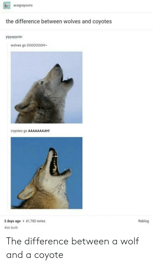 Coyote, Wolf, and Wolves: acegraysons  the difference between wolves and coyotes  ypyapyote  wolves go 0000000H  coyotes go AAAAAAAAH  2 days ago 41,782 notes  #im both  Reblog The difference between a wolf and a coyote