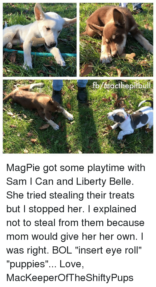 """liberty bell: acthe pitbul MagPie got some playtime with Sam I Can and Liberty Belle. She tried stealing their treats but I stopped her. I explained not to steal from them because mom would give her her own. I was right. BOL """"insert eye roll"""" """"puppies""""...  Love, MacKeeperOfTheShiftyPups"""