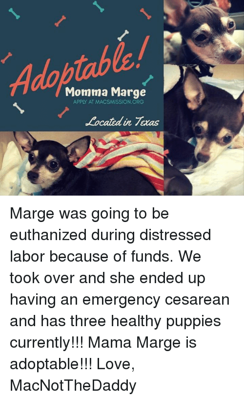 cesarean: Adoptable  Momma Marge  APPLY AT MACSMISSION. ORG  Located in Texas Marge was going to be euthanized during distressed labor because of funds. We took over and she ended up having an emergency cesarean and has three healthy puppies currently!!! Mama Marge is adoptable!!!   Love, MacNotTheDaddy