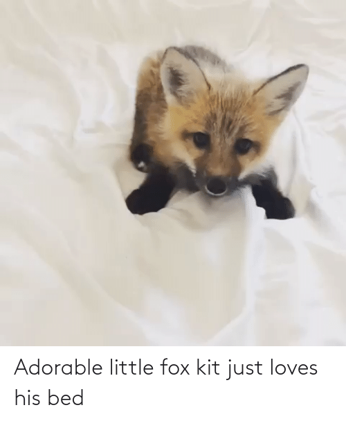 fox: Adorable little fox kit just loves his bed