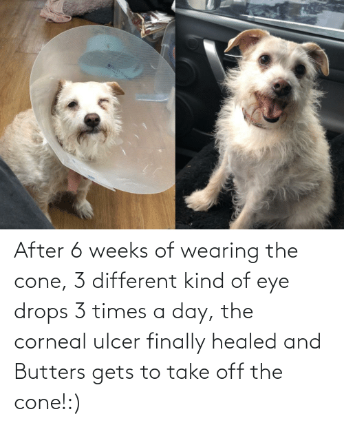 Drops: After 6 weeks of wearing the cone, 3 different kind of eye drops 3 times a day, the corneal ulcer finally healed and Butters gets to take off the cone!:)
