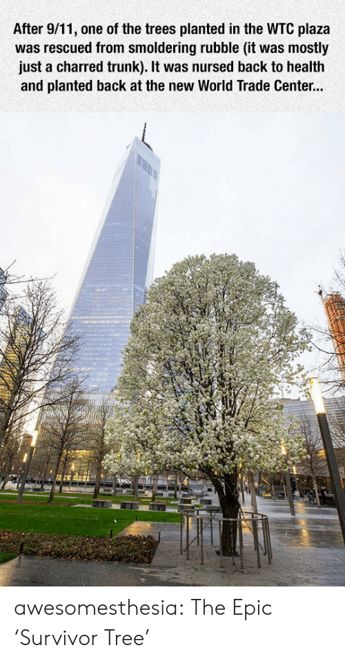 rubble: After 9/11, one of the trees planted in the WTC plaza  was rescued from smoldering rubble (it was mostly  just a charred trunk). It was nursed back to health  and planted back at the new World Trade Center... awesomesthesia:  The Epic 'Survivor Tree'