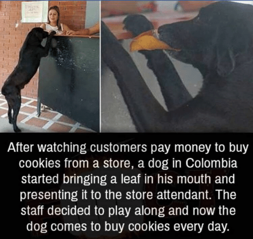Cookies, Money, and Colombia: After watching customers pay money to buy  cookies from a store, a dog in Colombia  started bringing a leaf in his mouth and  presenting it to the store attendant. The  staff decided to play along and now the  dog comes to buy cookies every day.