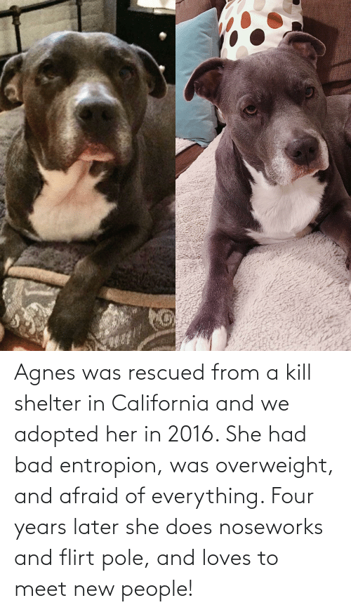 In 2016: Agnes was rescued from a kill shelter in California and we adopted her in 2016. She had bad entropion, was overweight, and afraid of everything. Four years later she does noseworks and flirt pole, and loves to meet new people!