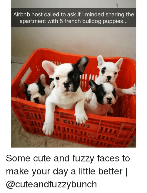 Cute, Memes, and Puppies: Airbnb host called to ask if I minded sharing the  apartment with 5 french bulldog puppies... Some cute and fuzzy faces to make your day a little better | @cuteandfuzzybunch