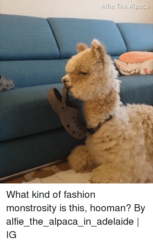 Dank, Fashion, and Alpaca: Alfie The Alpaca What kind of fashion monstrosity is this, hooman?  By alfie_the_alpaca_in_adelaide | IG
