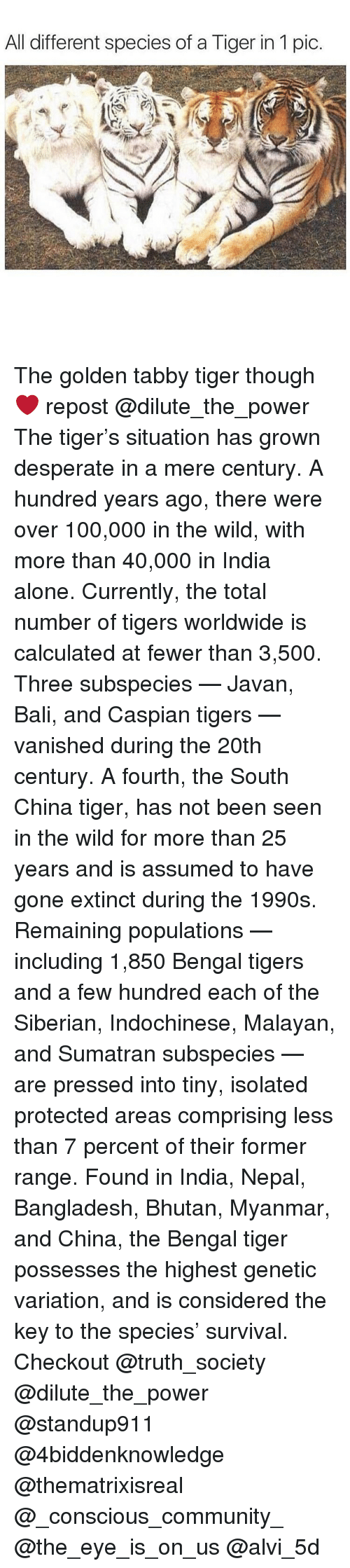 Calculation: All different species of a Tiger in 1 pic The golden tabby tiger though ❤️ repost @dilute_the_power The tiger's situation has grown desperate in a mere century. A hundred years ago, there were over 100,000 in the wild, with more than 40,000 in India alone. Currently, the total number of tigers worldwide is calculated at fewer than 3,500. Three subspecies — Javan, Bali, and Caspian tigers — vanished during the 20th century. A fourth, the South China tiger, has not been seen in the wild for more than 25 years and is assumed to have gone extinct during the 1990s. Remaining populations — including 1,850 Bengal tigers and a few hundred each of the Siberian, Indochinese, Malayan, and Sumatran subspecies — are pressed into tiny, isolated protected areas comprising less than 7 percent of their former range. Found in India, Nepal, Bangladesh, Bhutan, Myanmar, and China, the Bengal tiger possesses the highest genetic variation, and is considered the key to the species' survival. Checkout @truth_society @dilute_the_power @standup911 @4biddenknowledge @thematrixisreal @_conscious_community_ @the_eye_is_on_us @alvi_5d