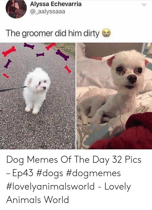 Animals, Dogs, and Memes: Alyssa Echevarria  @_aalyssaaa  The groomer did him dirty Dog Memes Of The Day 32 Pics – Ep43 #dogs #dogmemes #lovelyanimalsworld - Lovely Animals World