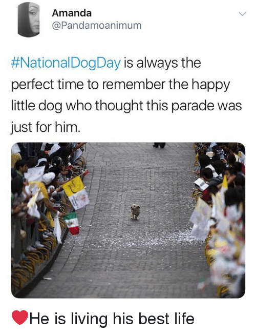 Life, Memes, and Best: Amanda  @Pandamoanimum  #National DogDay is always the  perfect time to remember the happy  little dog who thought this parade was  just for him.  匕 ❤️He is living his best life