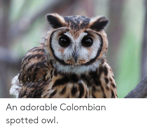 Adorable, Owl, and Colombian: An adorable Colombian spotted owl.