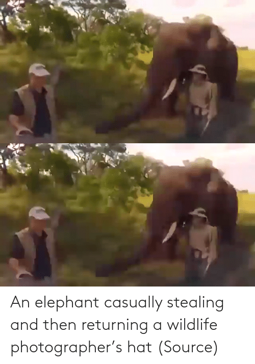 then: An elephant casually stealing and then returning a wildlife photographer's hat (Source)