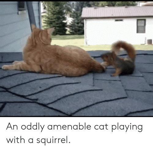 amenable: An oddly amenable cat playing with a squirrel.
