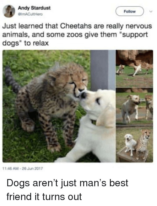 "zoos: Andy Stardust  Follow  Just learned that Cheetahs are really nervous  animals, and some zoos give them ""support  dogs"" to relax  146 AM-26 Jun 2017 Dogs aren't just man's best friend it turns out"