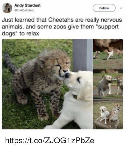 "zoos: Andy Stardust  Follow  Just learned that Cheetahs are really nervous  animals, and some zoos give them ""support  dogs"" to relax https://t.co/ZJOG1zPbZe"