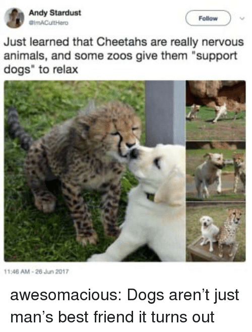 "zoos: Andy Stardust  Follow  Just learned that Cheetahs are really nervous  animals, and some zoos give them ""support  dogs"" to relax  146 AM-26 Jun 2017 awesomacious:  Dogs aren't just man's best friend it turns out"
