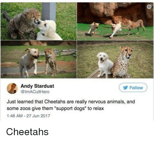 "zoos: Andy Stardust  @ImACultHero  ( Follow  Just learned that Cheetahs are really nervous animals, and  some zoos give them ""support dogs"" to relax  1:46 AM-27 Jun 2017 Cheetahs"